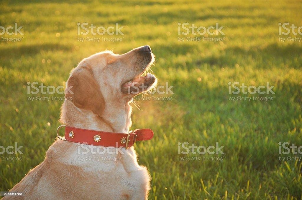 Labrador in the sunset stock photo