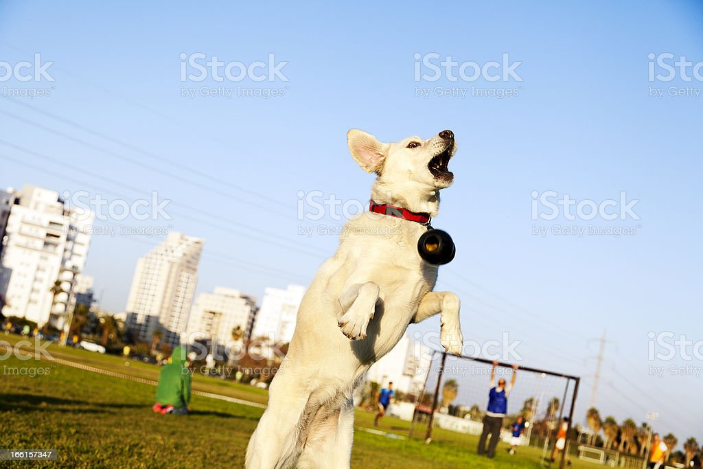 Labrador Jumping After Chew Toy in Park royalty-free stock photo