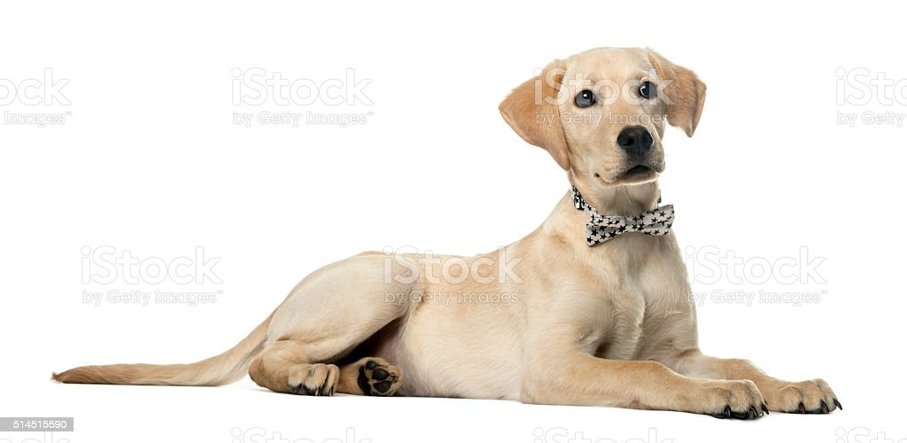 Labrador Lying Down And Wearing A Bow Isolated On White Stock Photo ...