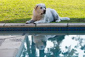 Labrador Lying Down Next To A Pool Reflected In The Water
