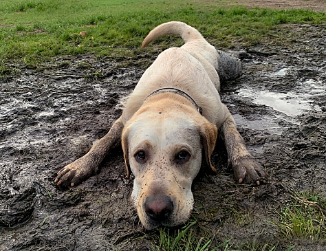 Young Labrador lying in the mud looking cute