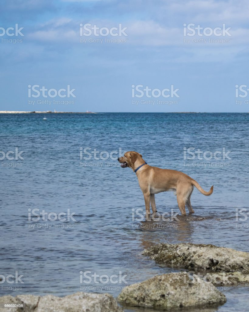 Labrador on a rocky beach in Malta foto stock royalty-free