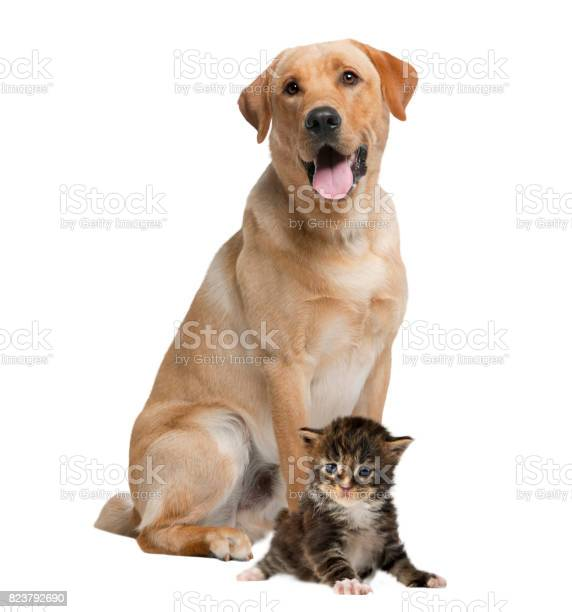 Labrador panting and kitten isolated on white picture id823792690?b=1&k=6&m=823792690&s=612x612&h=6reb79n7q9fpyu61fltdu7oogeusovztphnmu urbrm=