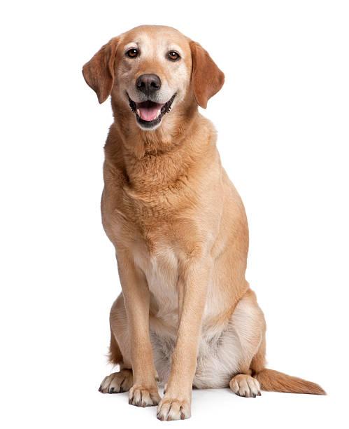 Labrador panting stock photo
