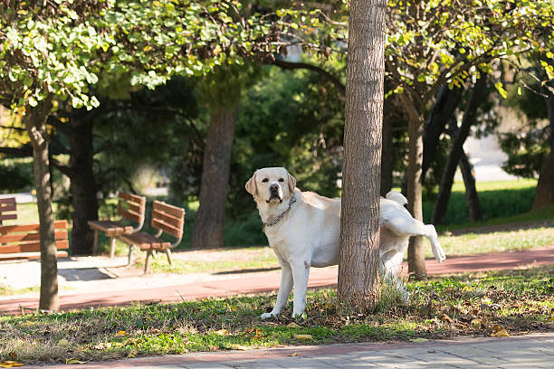 Labrador peeing at a tree in a park. stock photo