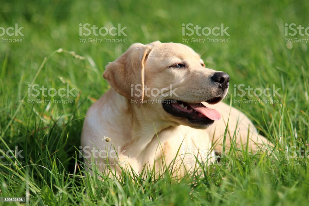 Labrador stock photo