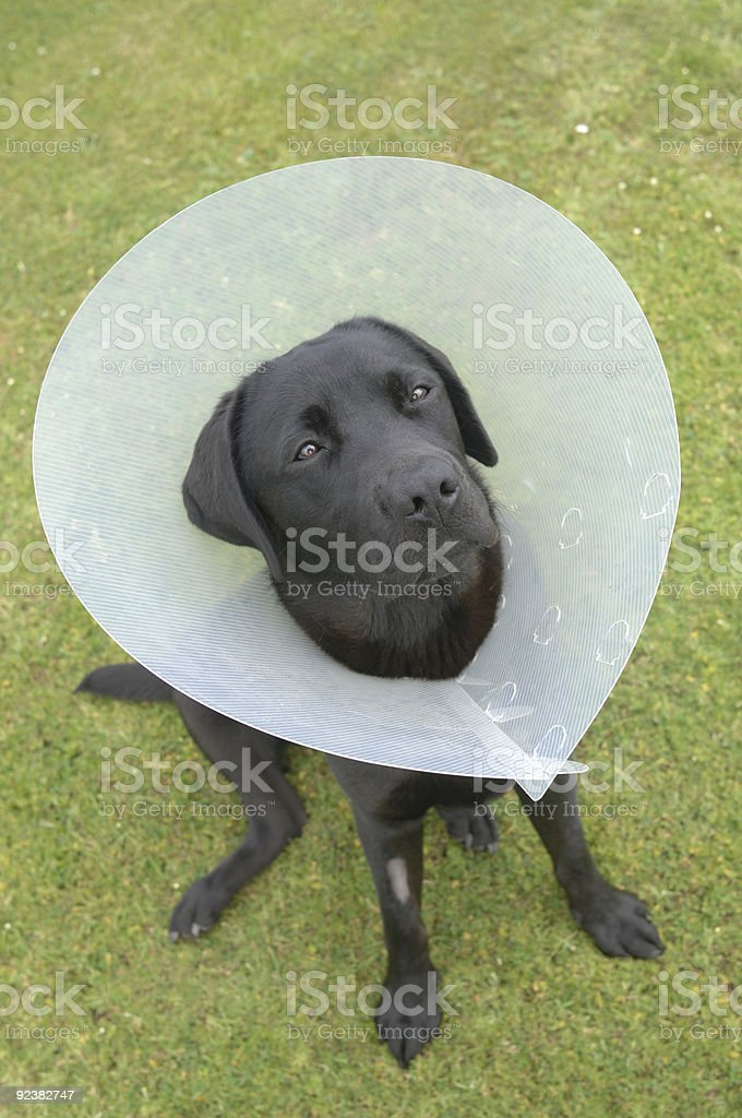 Labrador royalty-free stock photo