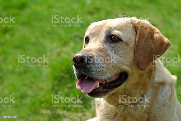 Labrador picture id93227632?b=1&k=6&m=93227632&s=612x612&h=ylncmbegn5kbhh6rzy2k3kwqzc6b8f 3o0jw x9vhog=
