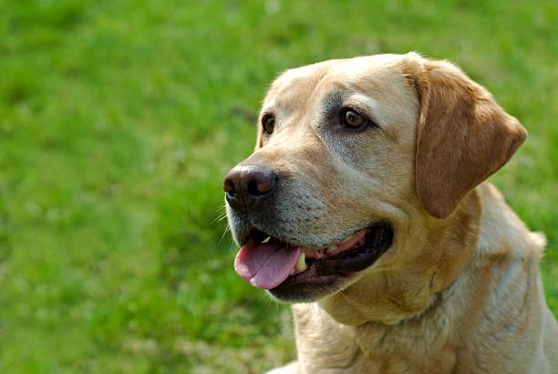 Labrador – Foto