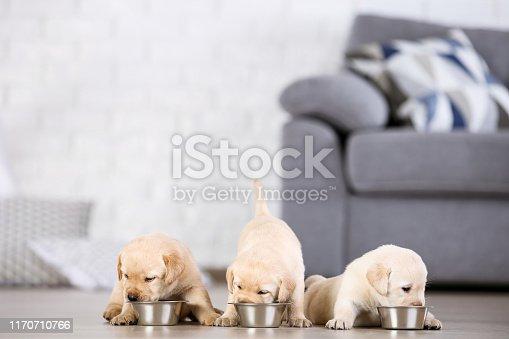 Labrador puppies eating food at home