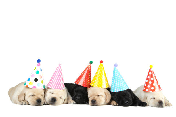 Labrador puppies in birthday caps isolated on white background picture id1173509072?b=1&k=6&m=1173509072&s=612x612&w=0&h=53gtvpxr5mitvmjduenpzmq3e pycvzbut5vy4wl7 w=