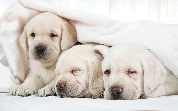 labrador welpen liegen in einem bett - jagdthema schlafzimmer stock-fotos und bilder