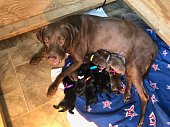 1 week old litter of Labrador retriever puppies