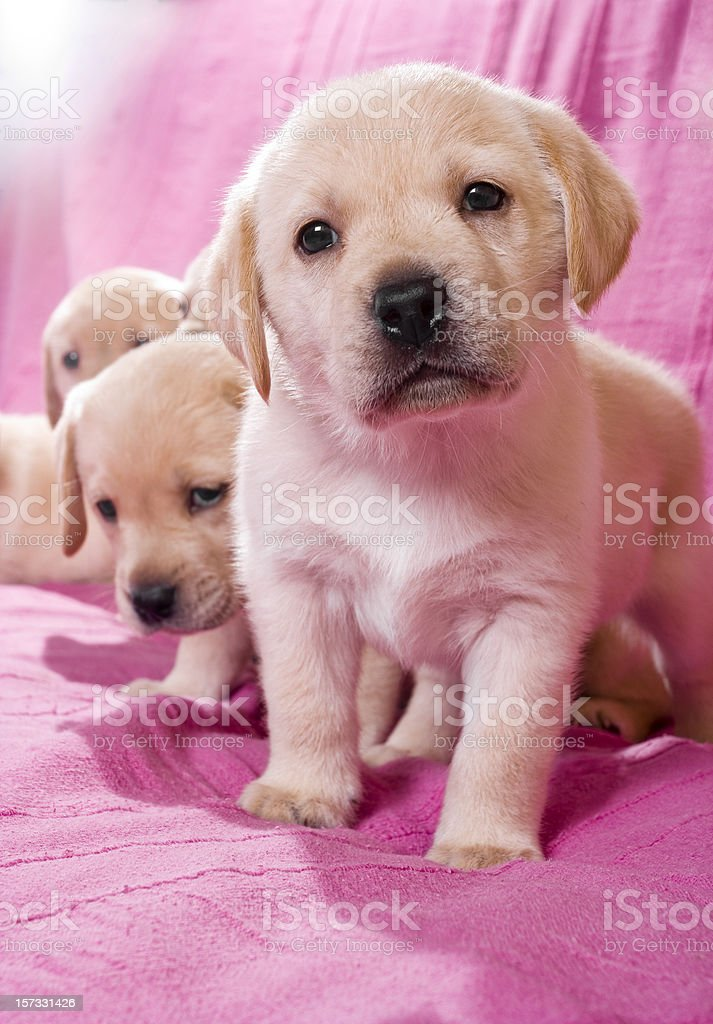 Labrador puppies royalty-free stock photo