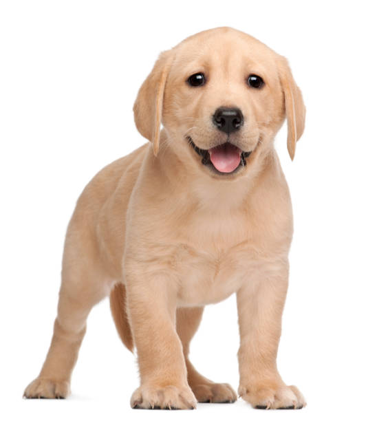Labrador puppy, 7 weeks old, in front of white background Labrador puppy, 7 weeks old, in front of white background labrador retriever stock pictures, royalty-free photos & images