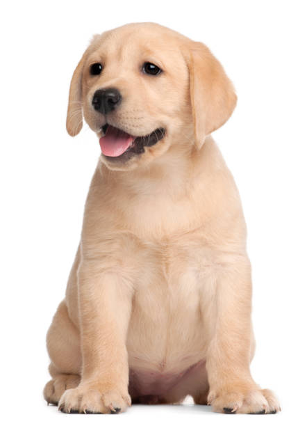Labrador puppy, 7 weeks old, in front of white background stock photo