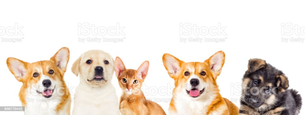 labrador puppy and Abyssinian kitten looking stock photo