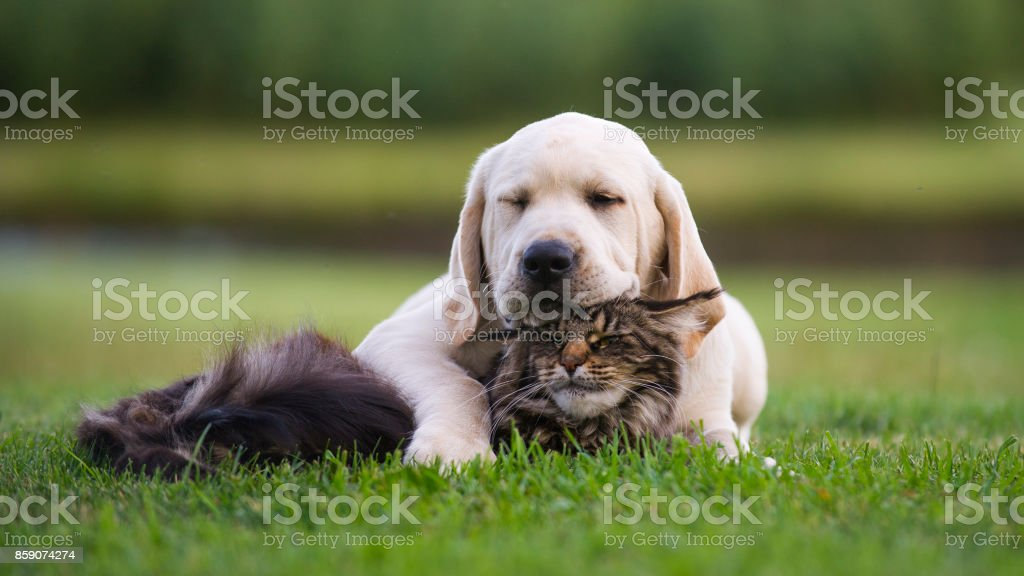 Labrador puppy  and Maine Coon cat friendship Adopted puppy. Animals friendship Animal Stock Photo