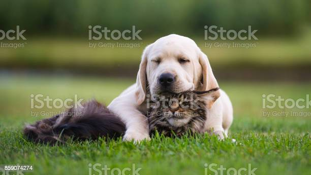 Labrador puppy and maine coon cat friendship picture id859074274?b=1&k=6&m=859074274&s=612x612&h=kqll4o2ay955ajnuzeknjq n9rnlco2awmyviycdmbo=