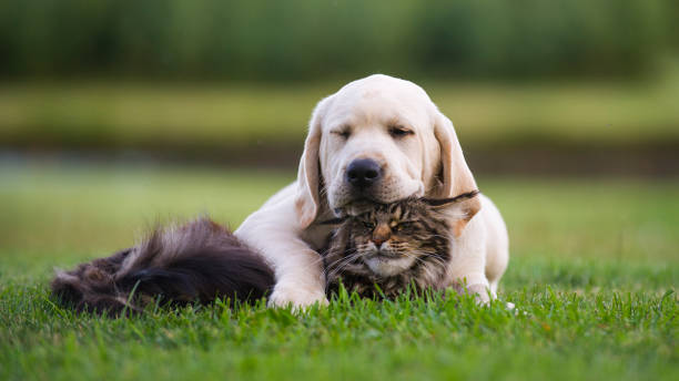 Labrador puppy  and Maine Coon cat friendship stock photo