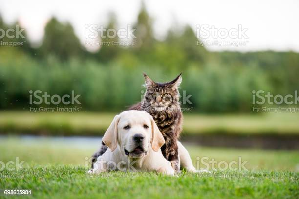 Labrador puppy and maine coon cat picture id698635984?b=1&k=6&m=698635984&s=612x612&h=dr3qn96qp5mel qgs7fdyzsmgc22z7guwuwjcpxhnbu=