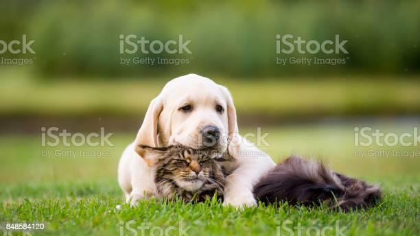 Labrador puppy and maine coon cat picture id848584120?b=1&k=6&m=848584120&s=612x612&h=4ecdv gaudgwrou9jtpjlg8clxalqv5qmczacoqpnuk=