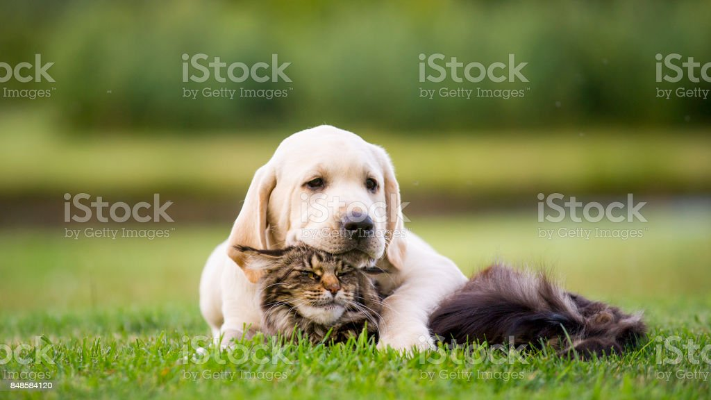 Labrador puppy  and maine coon cat – zdjęcie