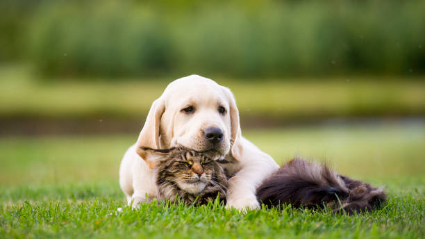 Labrador puppy  and maine coon cat stock photo
