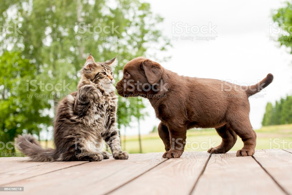 Labrador puppy  and maine coon cat royalty-free stock photo