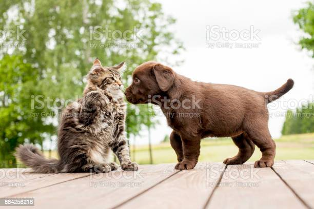 Labrador puppy and maine coon cat picture id864256218?b=1&k=6&m=864256218&s=612x612&h=e17hvb59qha nmb64o2xsp1ppi7i8aqtzcnpncgz0rw=