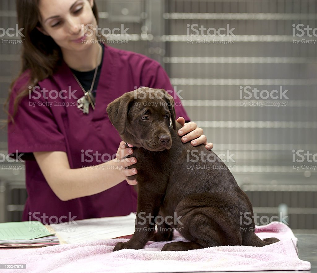labrador puppy at the vet's stock photo