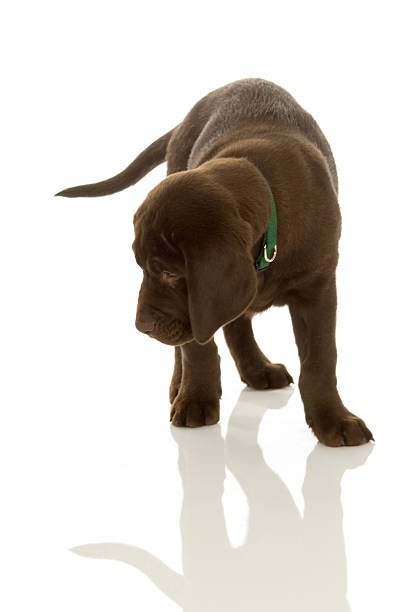 Labrador puppy design element picture id179271061?b=1&k=6&m=179271061&s=612x612&w=0&h=54far bdiker7uu2sx9uapeip7yu2oujtw7pqshfybc=