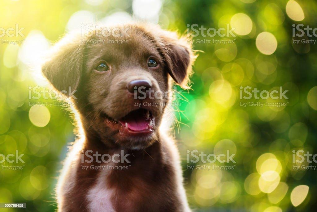 Labrador Welpen Hund Portrait mit leichten Bokeh abstrakten Hintergrund – Foto