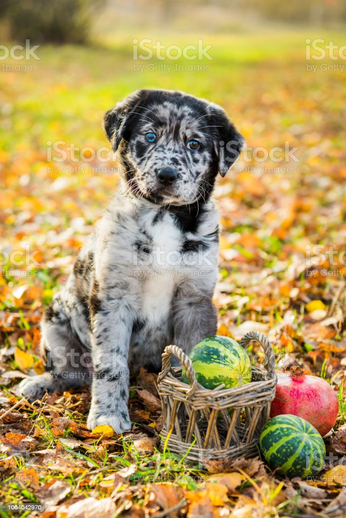 Labrador Puppy Dog With Different Color Eyes In Autumn Background