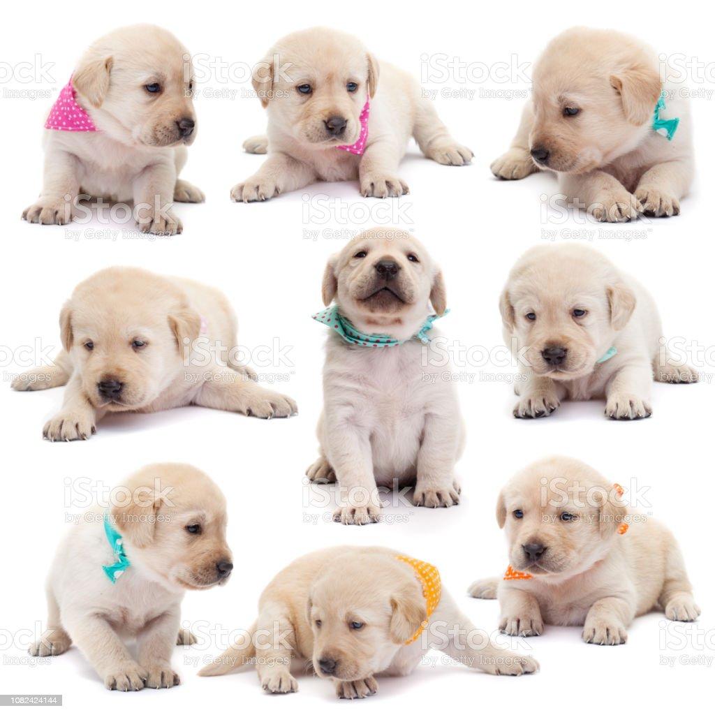 Labrador Welpen mit bunten Schals in verschiedenen Positionen auf weißem Hintergrund – Foto