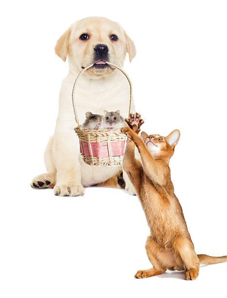 Labrador puppy holding a basket picture id578554396?b=1&k=6&m=578554396&s=612x612&w=0&h=c2vuf3hpxmd4h xsjkdc5je5i96dxt3esvmvbubkygk=