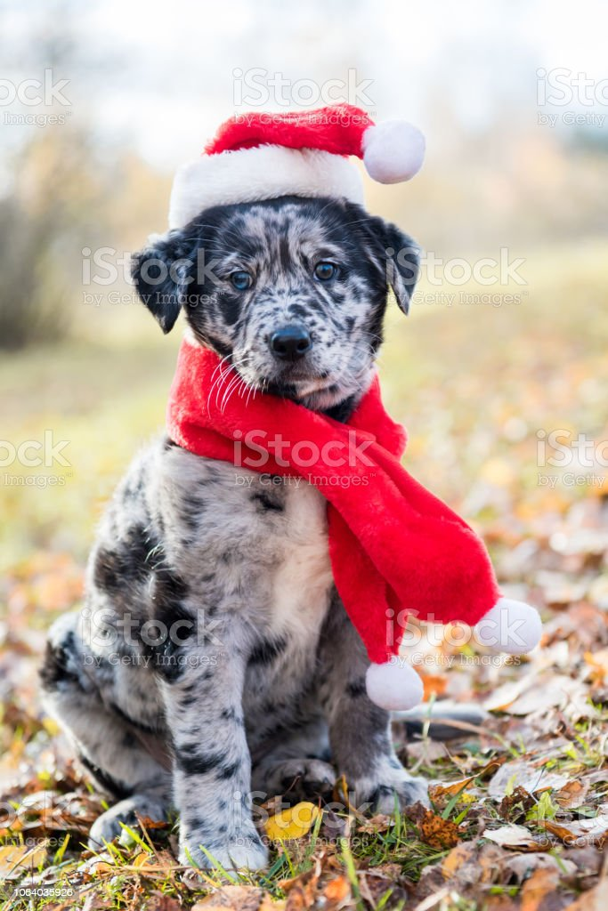 Labrador puppy in santa hat on Christmas and New Year stock photo