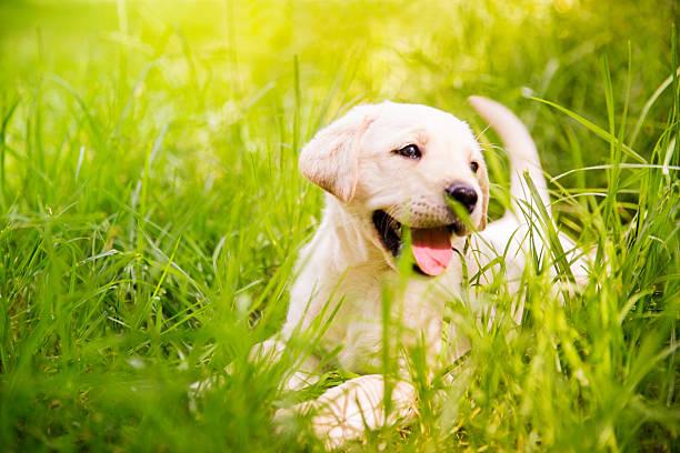 Labrador puppy in the grass picture id482689309?b=1&k=6&m=482689309&s=612x612&w=0&h=t69hyyginksa rfh bwjhzneor mpp76agp j3diyoc=