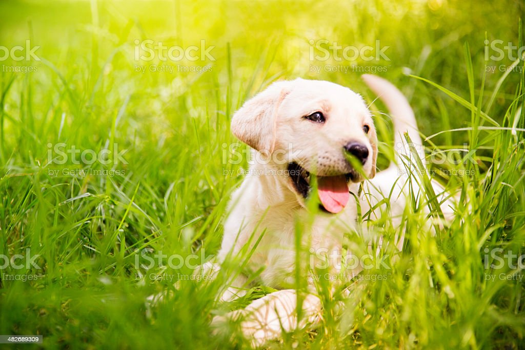 Labrador puppy  in the grass stock photo