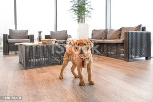 Cute Labrador puppy in the waiting room of a modern veterinary practice