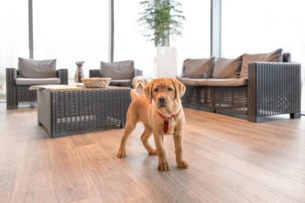 Labrador-Welpe im Wartezimmer einer modernen Tierarztpraxis – Foto
