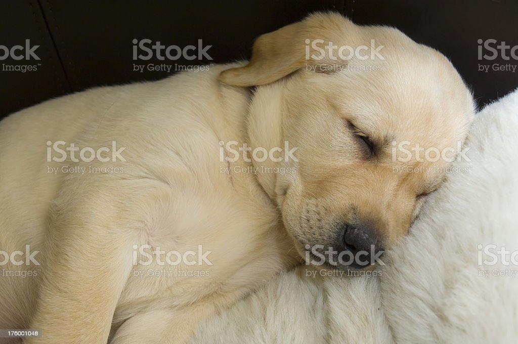 Labrador puppy royalty-free stock photo