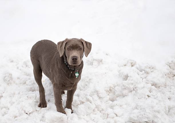 Top 30 Silver Lab Stock Photos, Pictures, and Images - iStock
