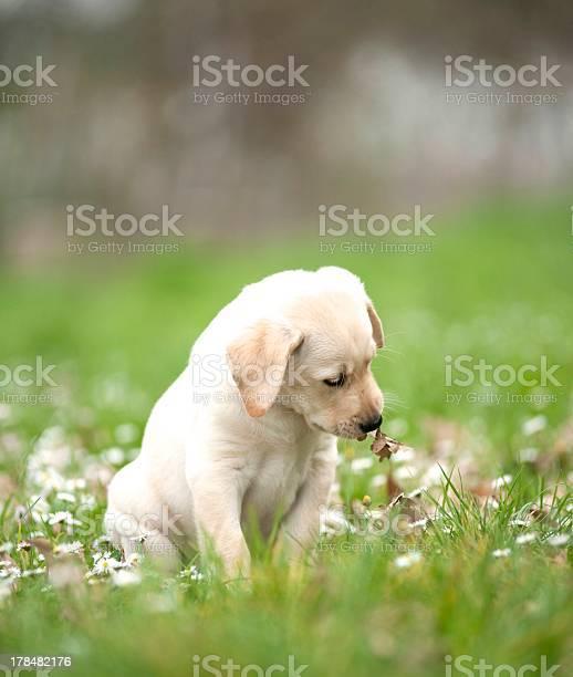 Labrador puppy playing with leaves picture id178482176?b=1&k=6&m=178482176&s=612x612&h=ie0kbekl 7nzyx qzzgqebc6wwbktjl5s6weyrdb6i8=
