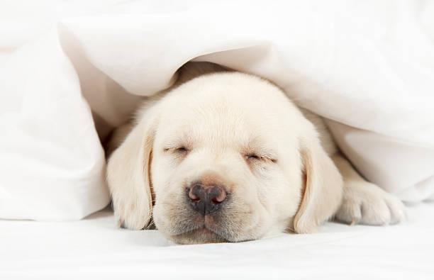 Labrador cachorro dormitorio con una cama - foto de stock