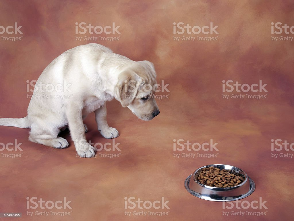 Labrador puppy waiting to eat royalty-free stock photo