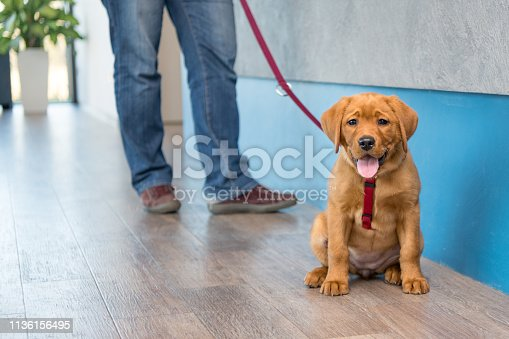 istock Labrador puppy with his owner on a leash at the reception of a modern veterinary practice 1136156495