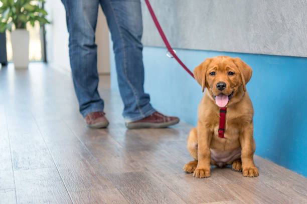 Labrador puppy with his owner on a leash at the reception of a modern veterinary practice Cute Labrador puppy with his owner on a leash at the reception of a modern veterinary practice animal hospital stock pictures, royalty-free photos & images