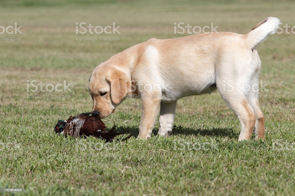 labrador puppy with pheasant royalty-free stock photo