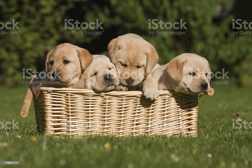 labrador puppys in a basket stock photo